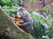 Hmmm Bananas - Monkey Forest