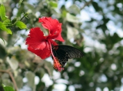 Hibiscus & Butterfly - Ananda Retreat