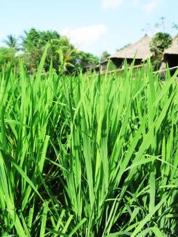 Full grown rice